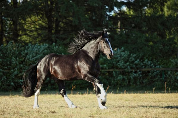 Shire Horse Bay stallion galloping in green pasture