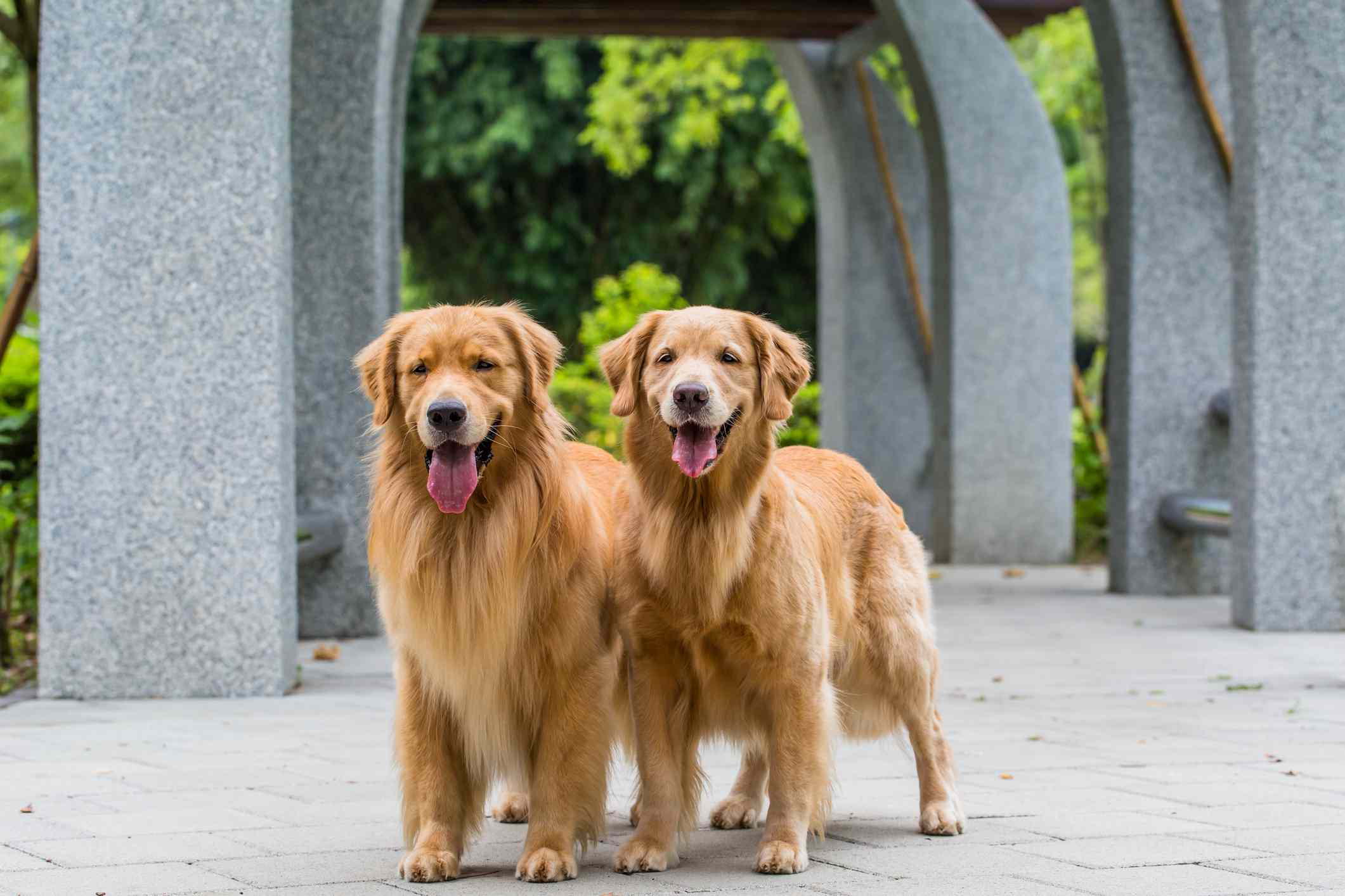 Two Golden Retrievers outdoors