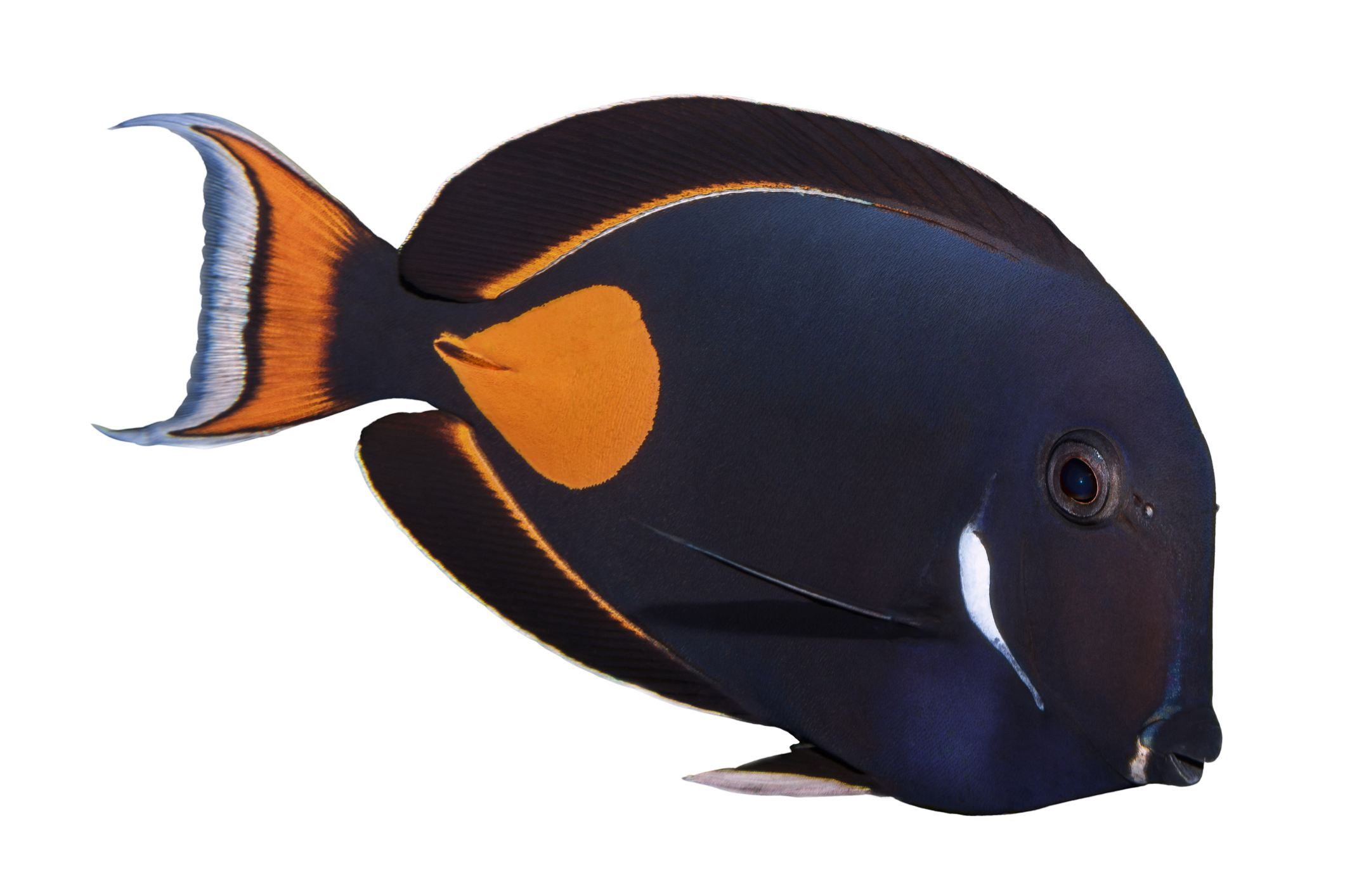 An Achilles tang fish in the ocean