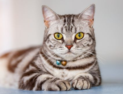 Gray striped American Shorthair cat laying down and looking at camera.