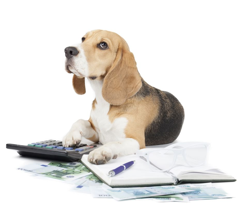 beagle dog with paperwork and calculator