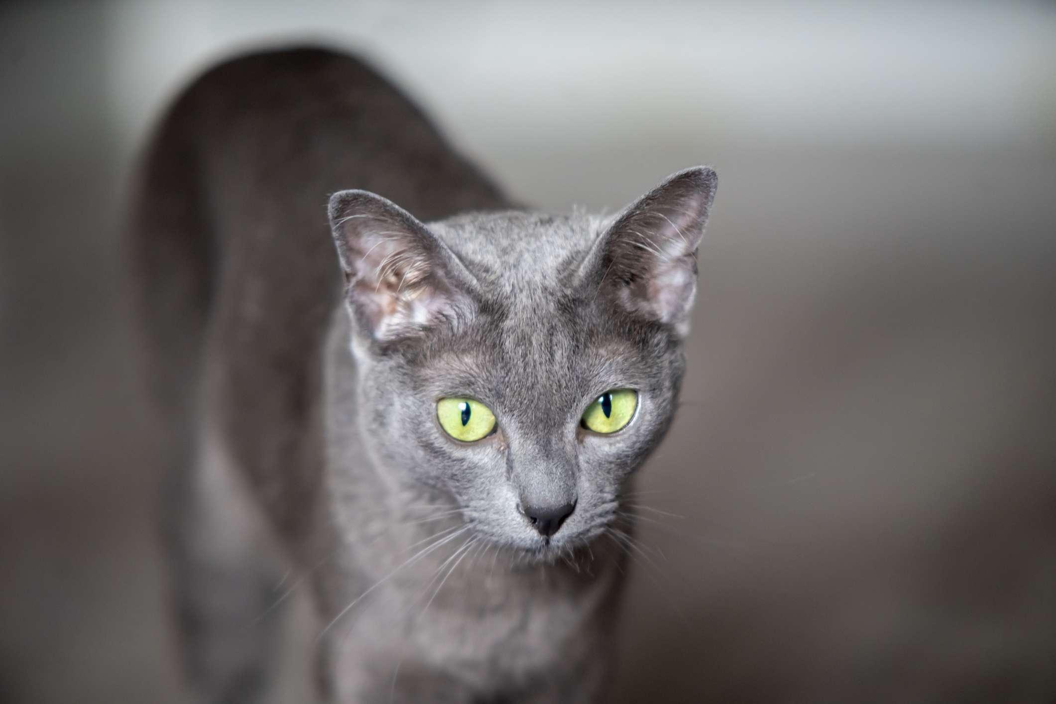 Korat cat with blue coat