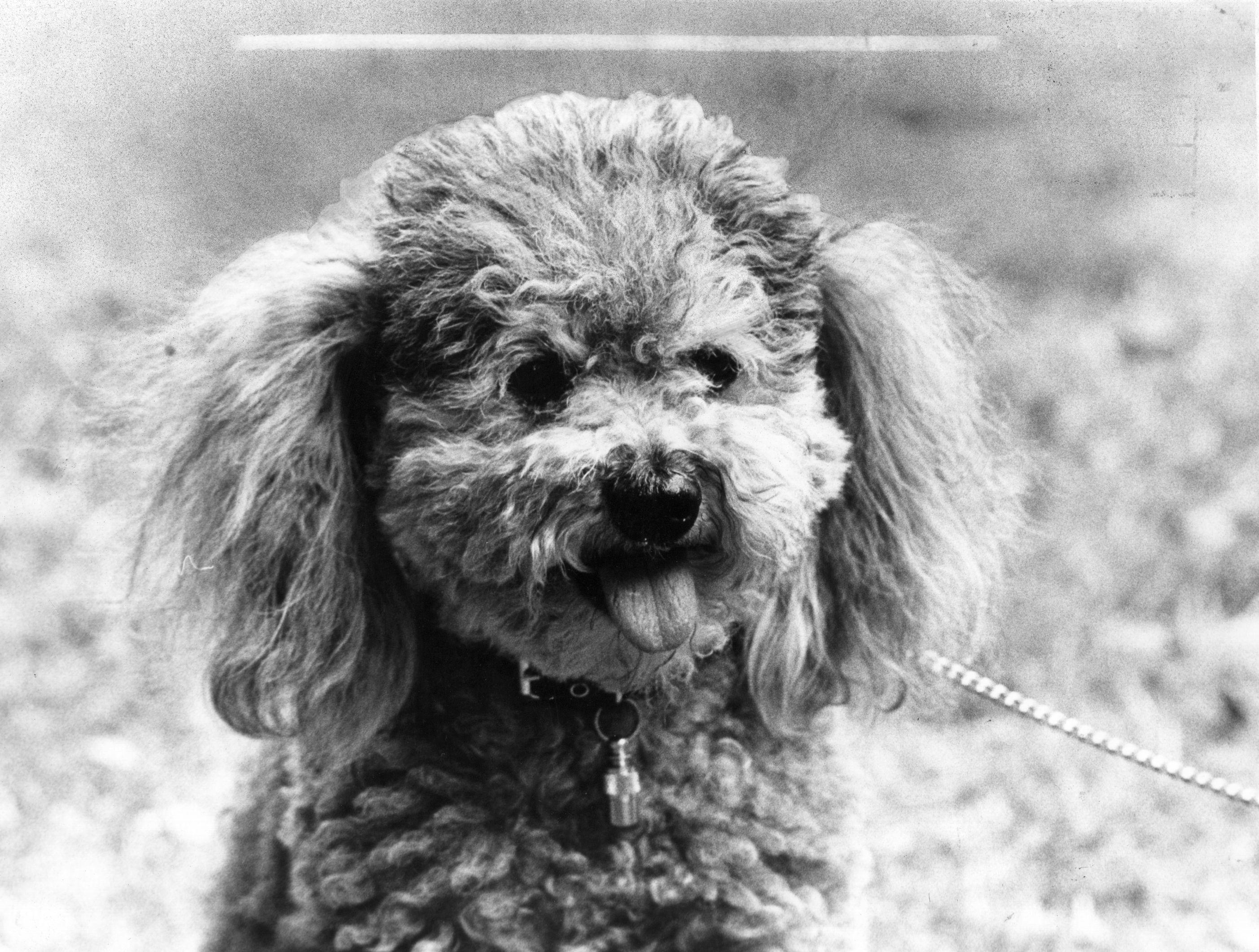 Poodle Dog Breed Profile