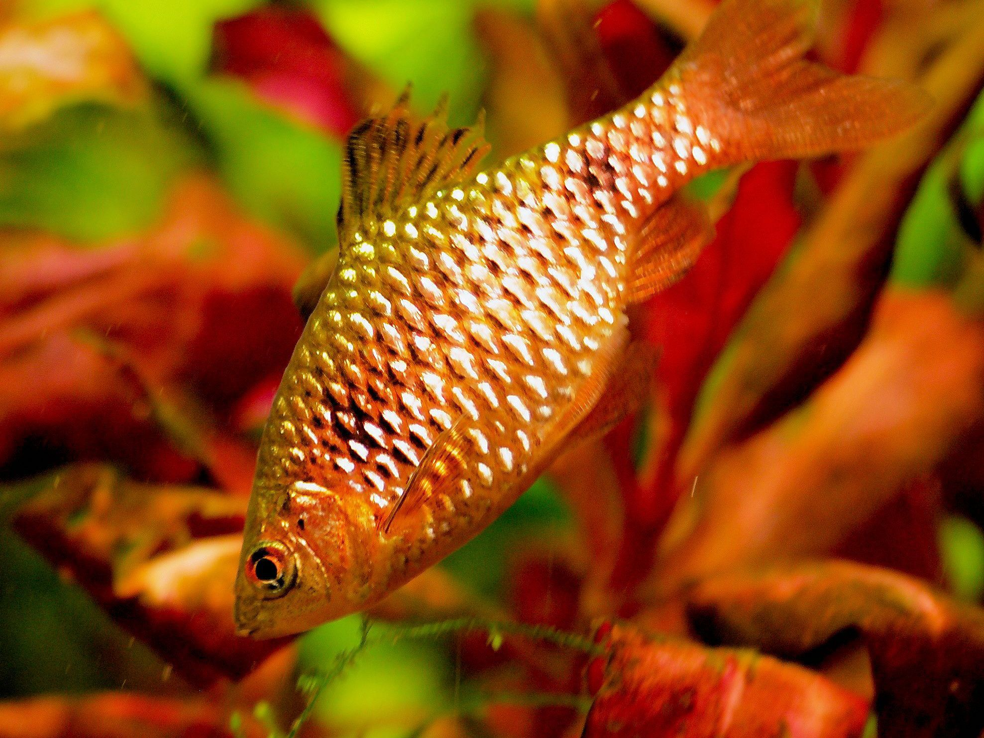 Rosy Barb Fish Breed Profile