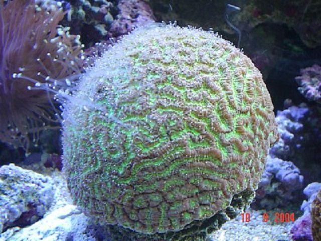 Brain Star Coral (Goniastrea sp.)