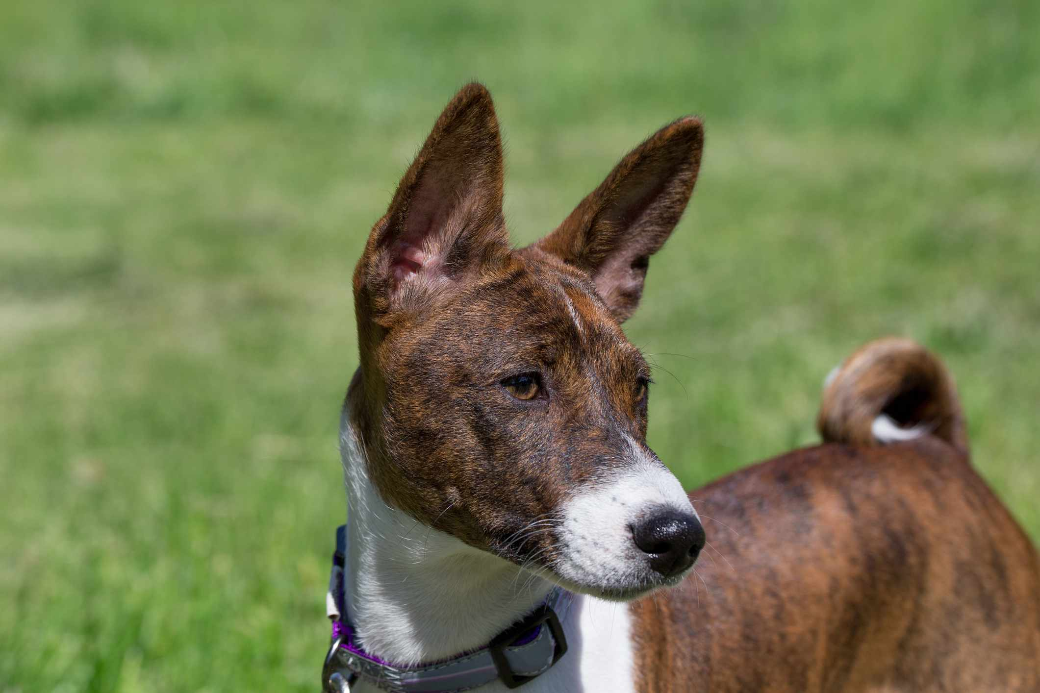 Brindle Basenji Headshot