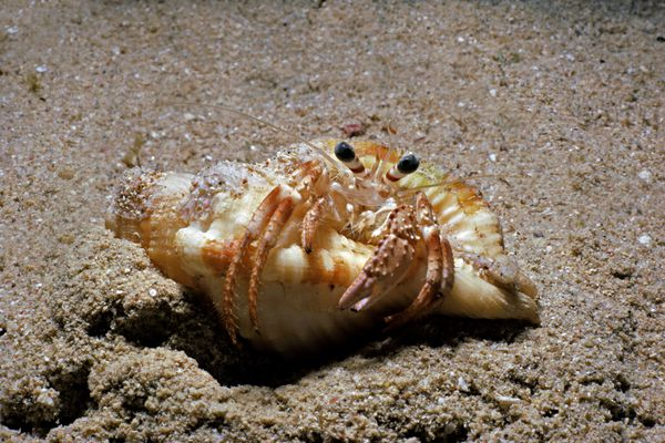 hermit crab with legs out