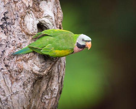 Moustached Parakeets Bird Species Profile