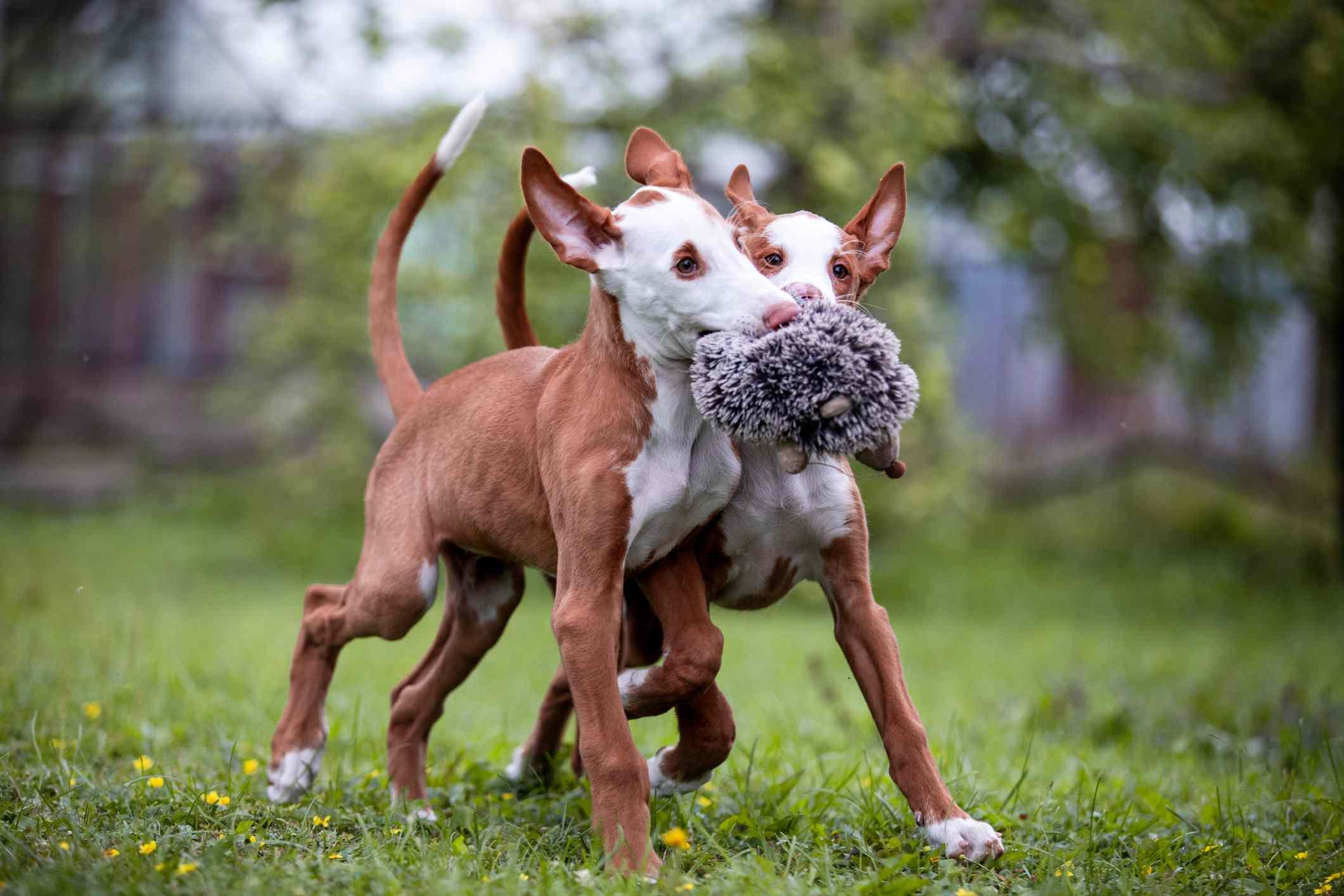 Two Ibizan hound puppies playing