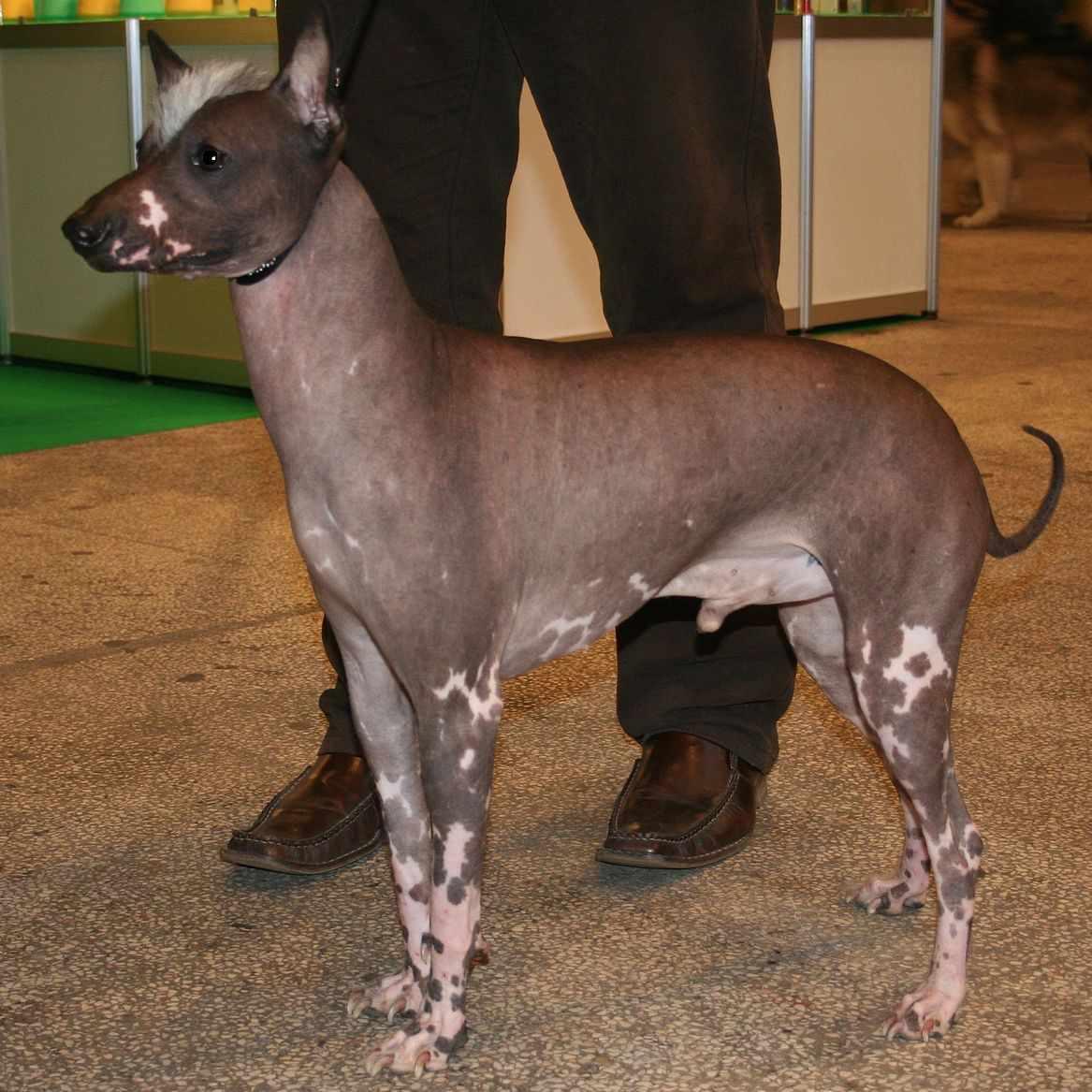 Hairless Khala dog standing