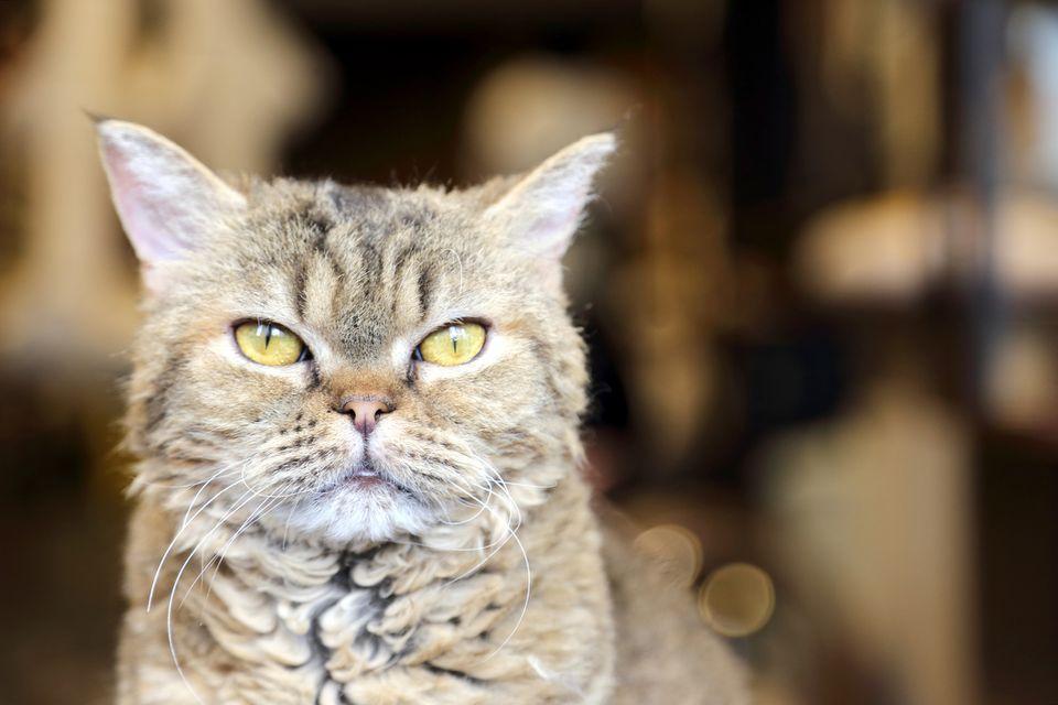 Un primer plano de un gato LaPerm