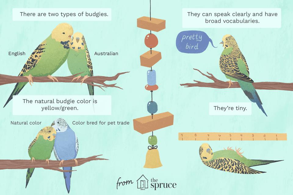 Ilustración de pájaros Budgie