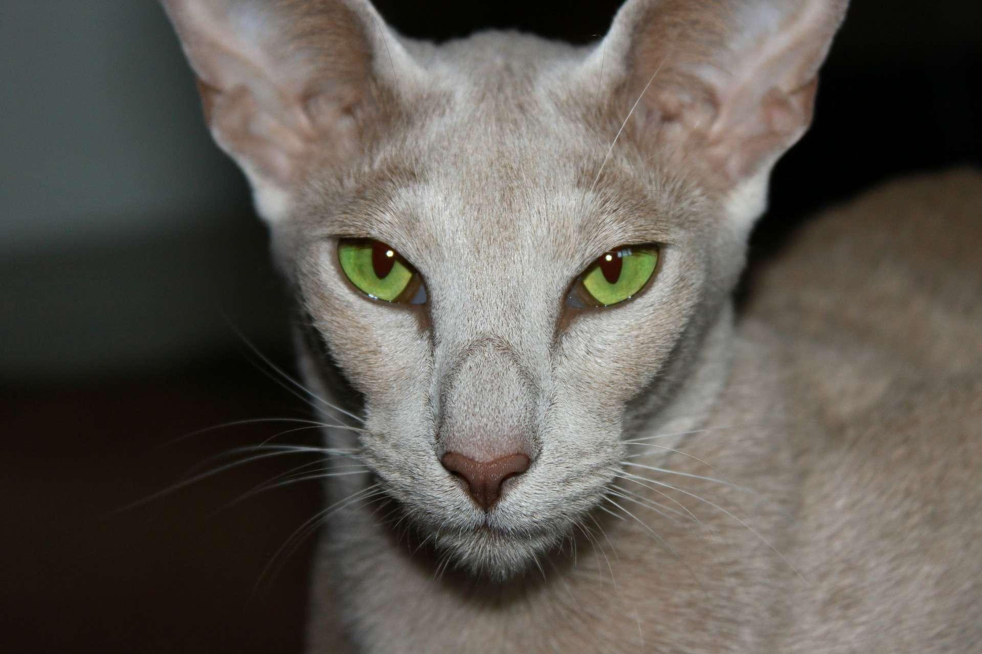 Oriental shorthair cat close-up
