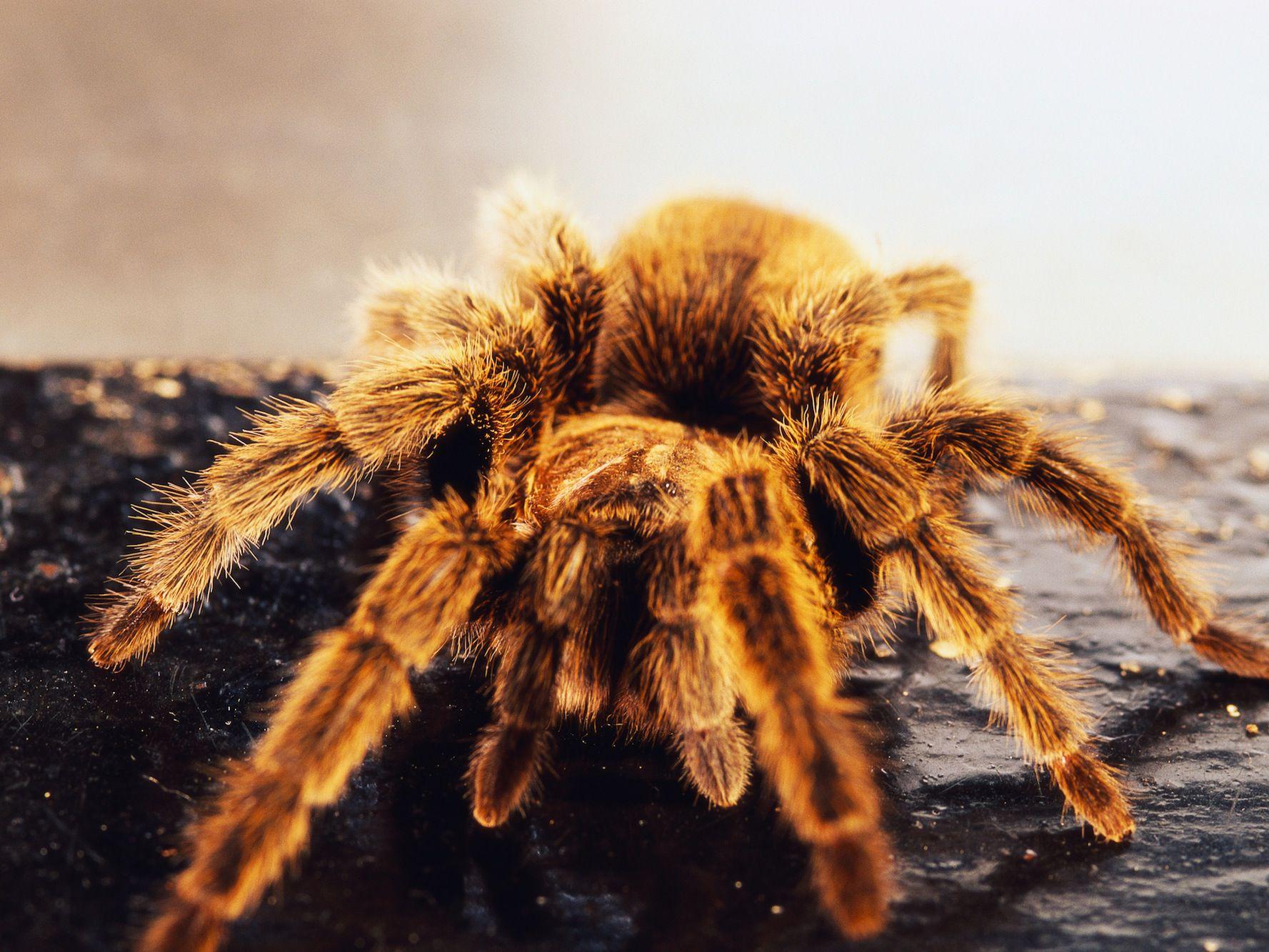 Keeping And Caring For Pet Chilean Rose Tarantulas
