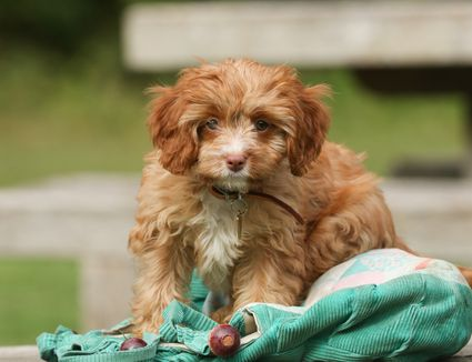Cavapoo puppy playing with a jacket.