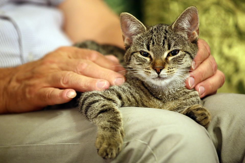Tabby cat lying on a man's lap