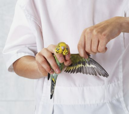 Person holding budgie in one hand and extending the wing with the other, front view
