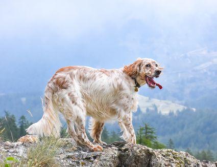 An English Setter on a mountain