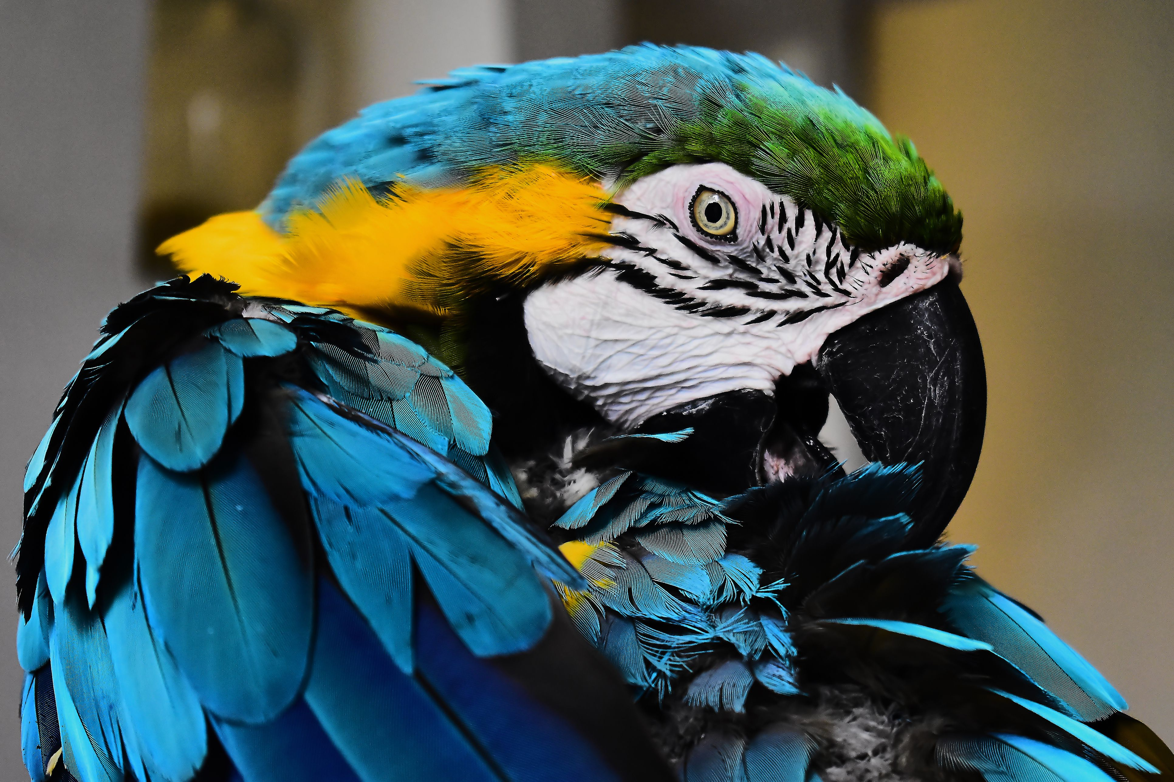 Blue Macaw Perching On Wood