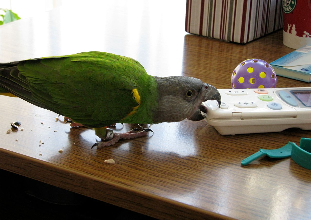 A bird chewing on a remote.