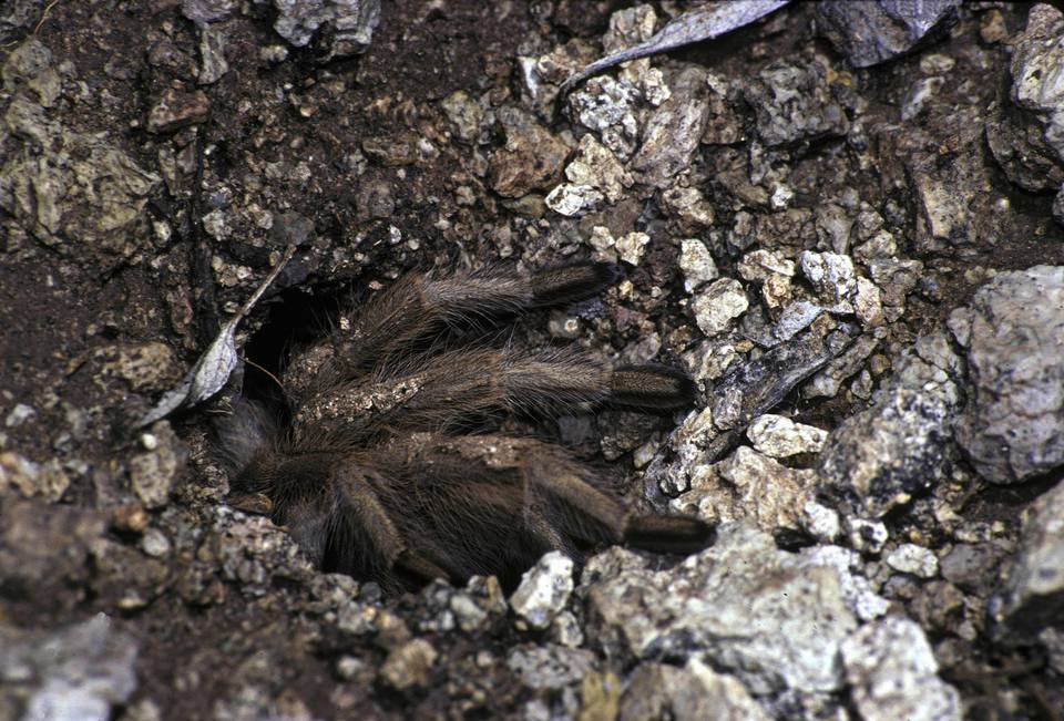 Desert tarantula coming out of hole