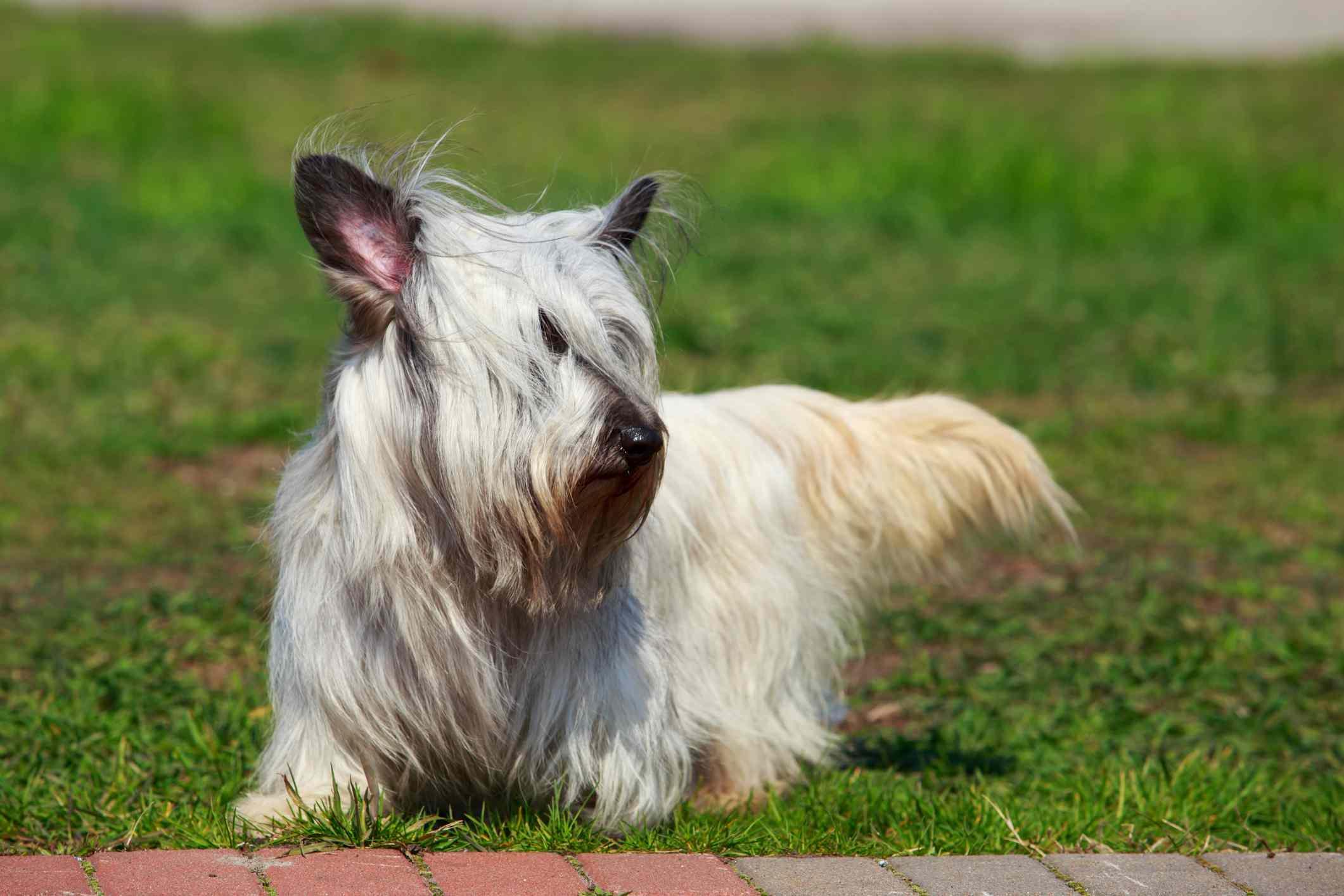 Light gray Skye Terrier outside on grass.