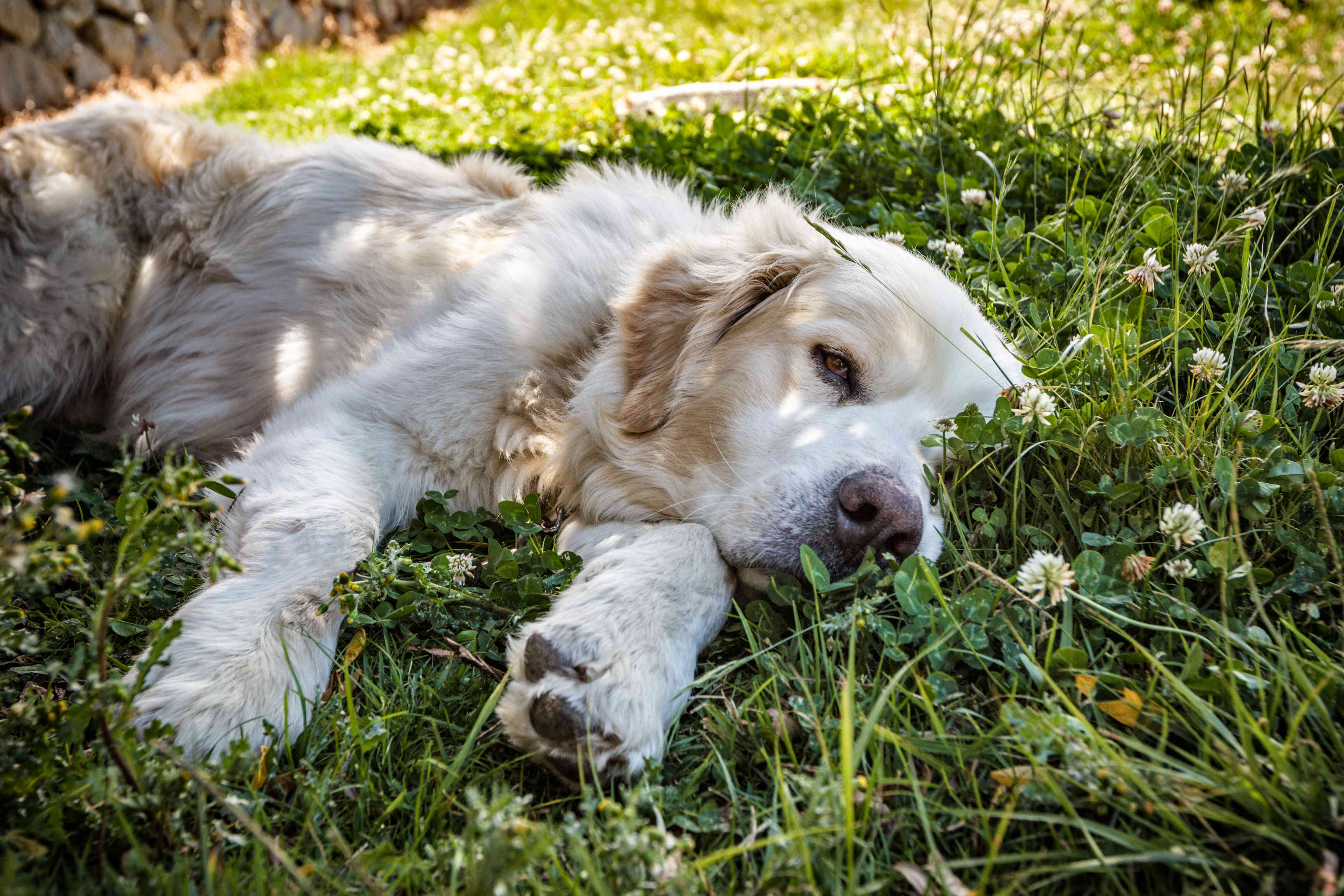 Mucuchies dog lying down over grass