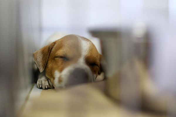 A young puppy up for adoption sleeps in his cage
