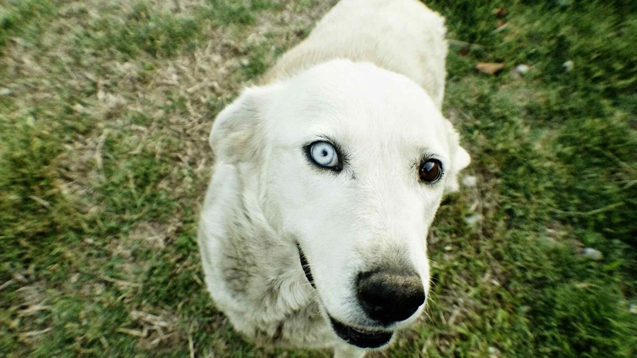 Close-up portrait of white dog standing in a field