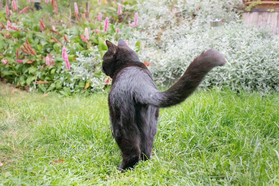 Black cat walking in grass with tail up and exposed back legs