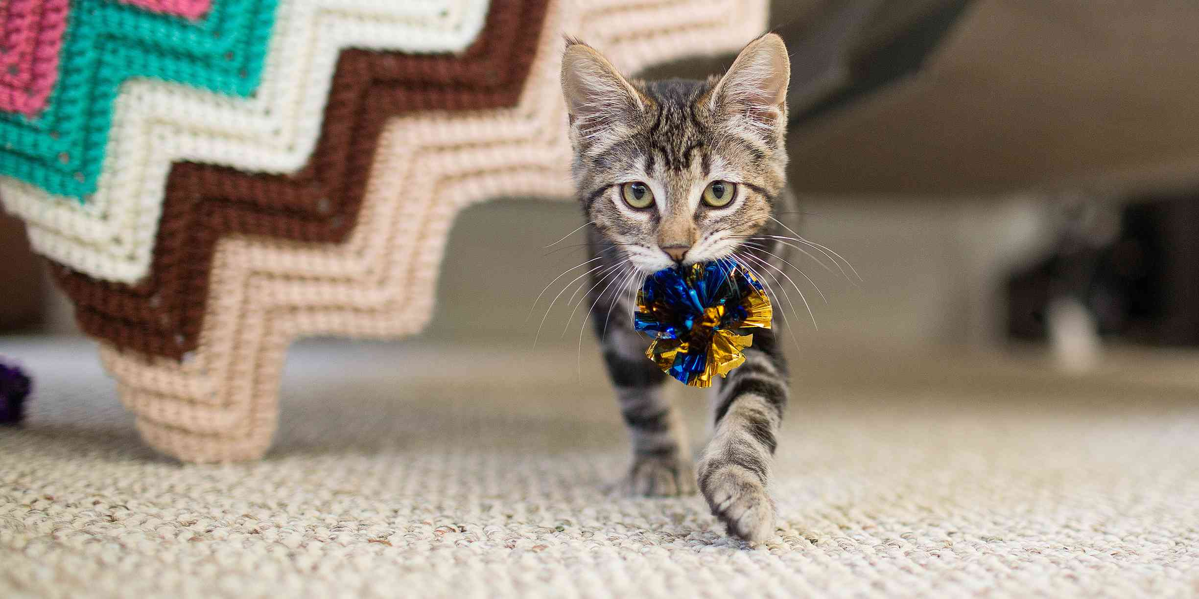 Tabby cat carrying a toy.