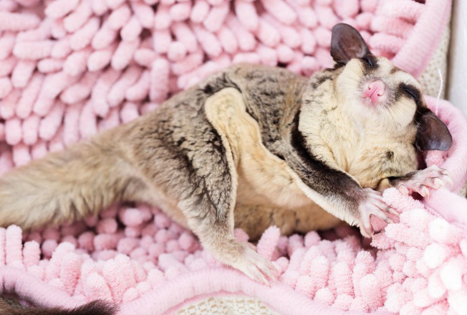 High Angle View Of Sugar Glider Relaxing On Rug