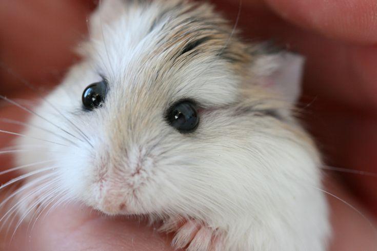 robo hamster pierdere în greutate