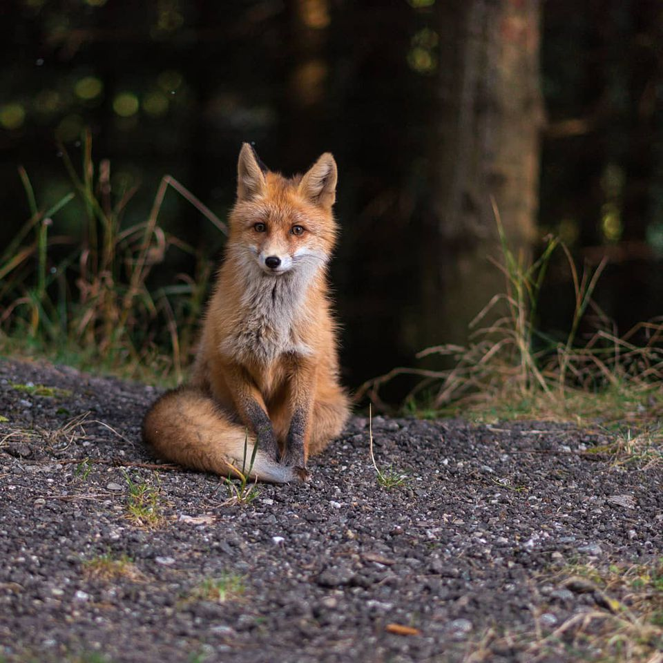 9 Cute Pictures of Red Foxes