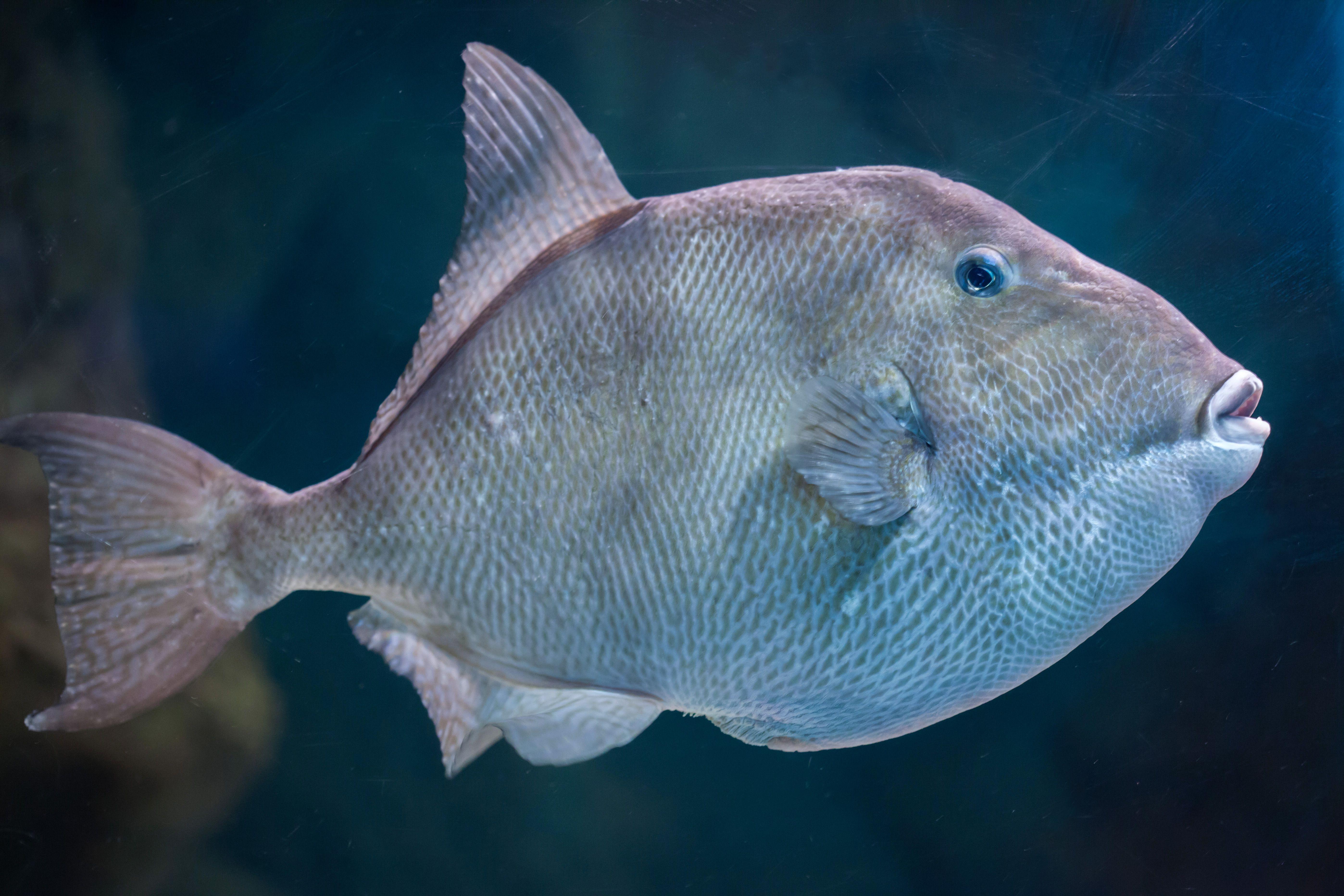 Grey triggerfish (Balistes capriscus).