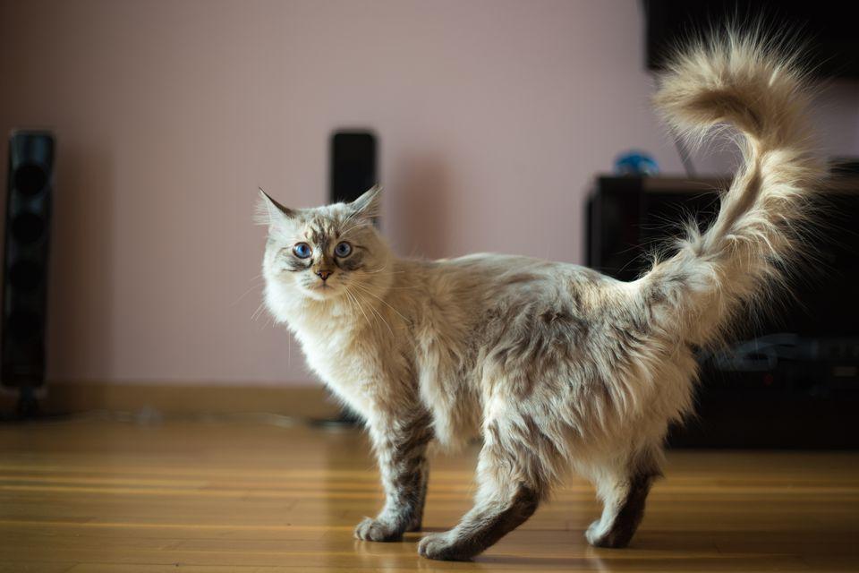 Gato con cola en el aire
