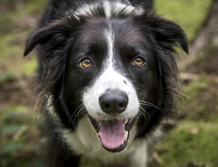 Border Collie dog staring straight into the camera.