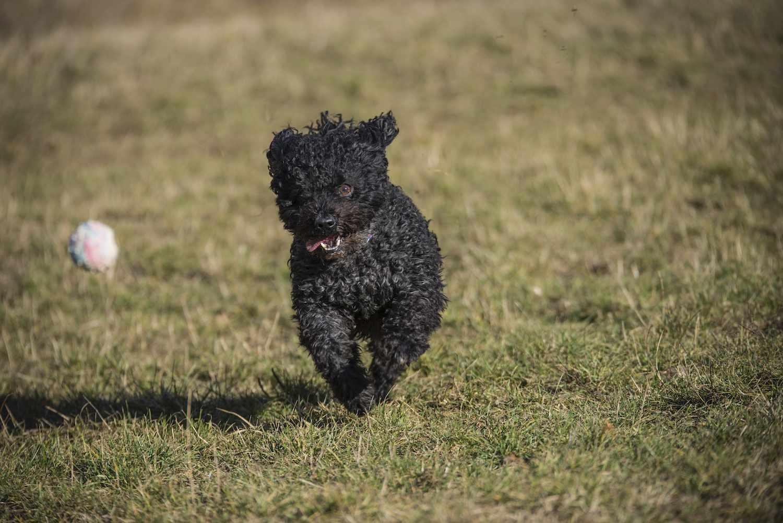mudi dog running