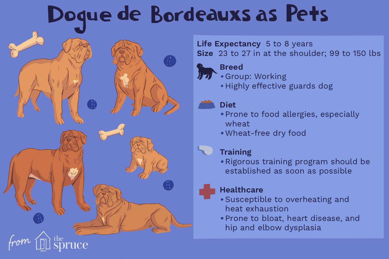 dogue de bordeauxs as pets illustration