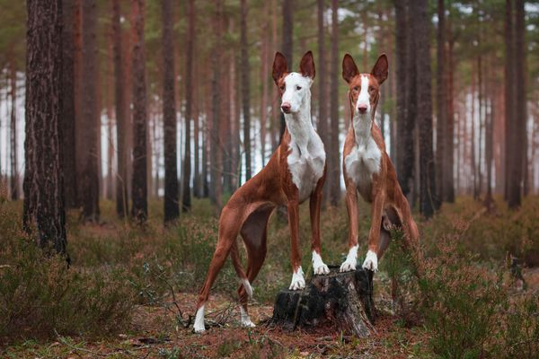 Two Ibizan Hounds in Woods