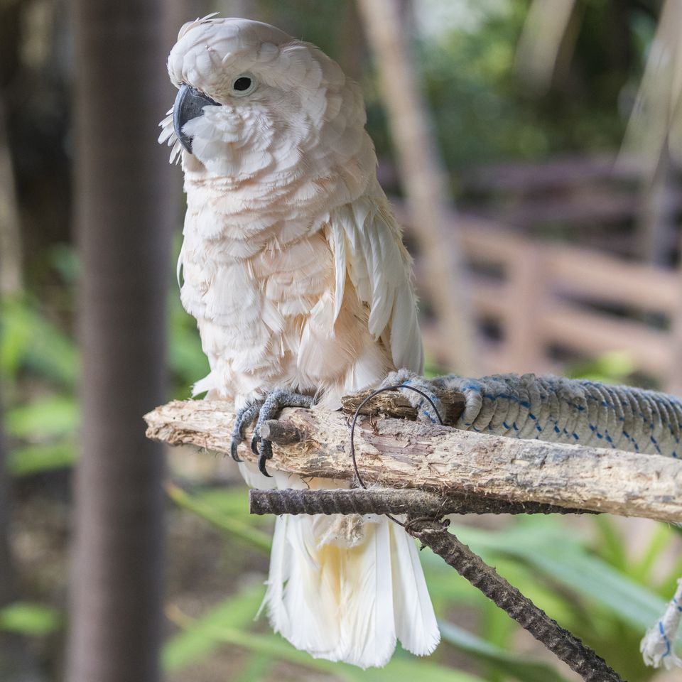 Moluccan cockatoo, as seen in the Bahamas.