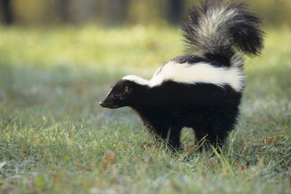 skunk spraying