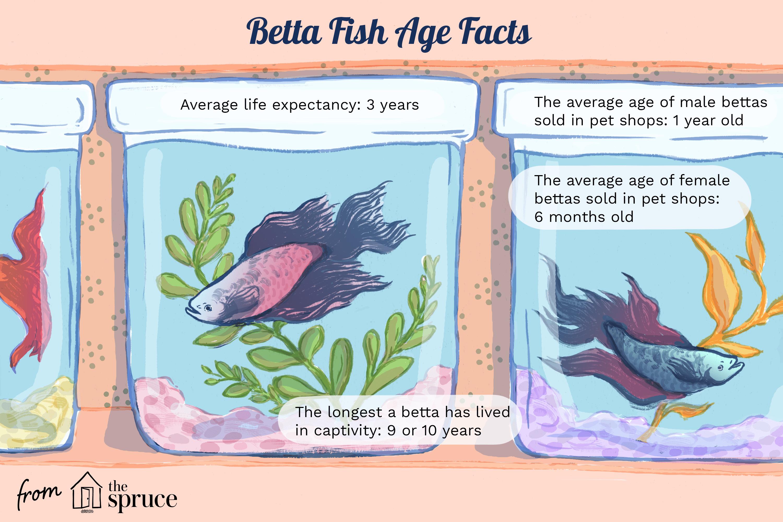 betta fish age facts