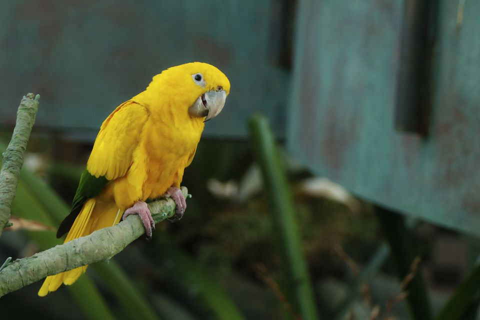 The golden parakeet bird or golden conure