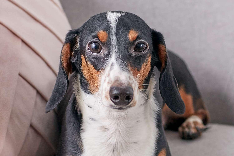 Retrato de un perro salchicha