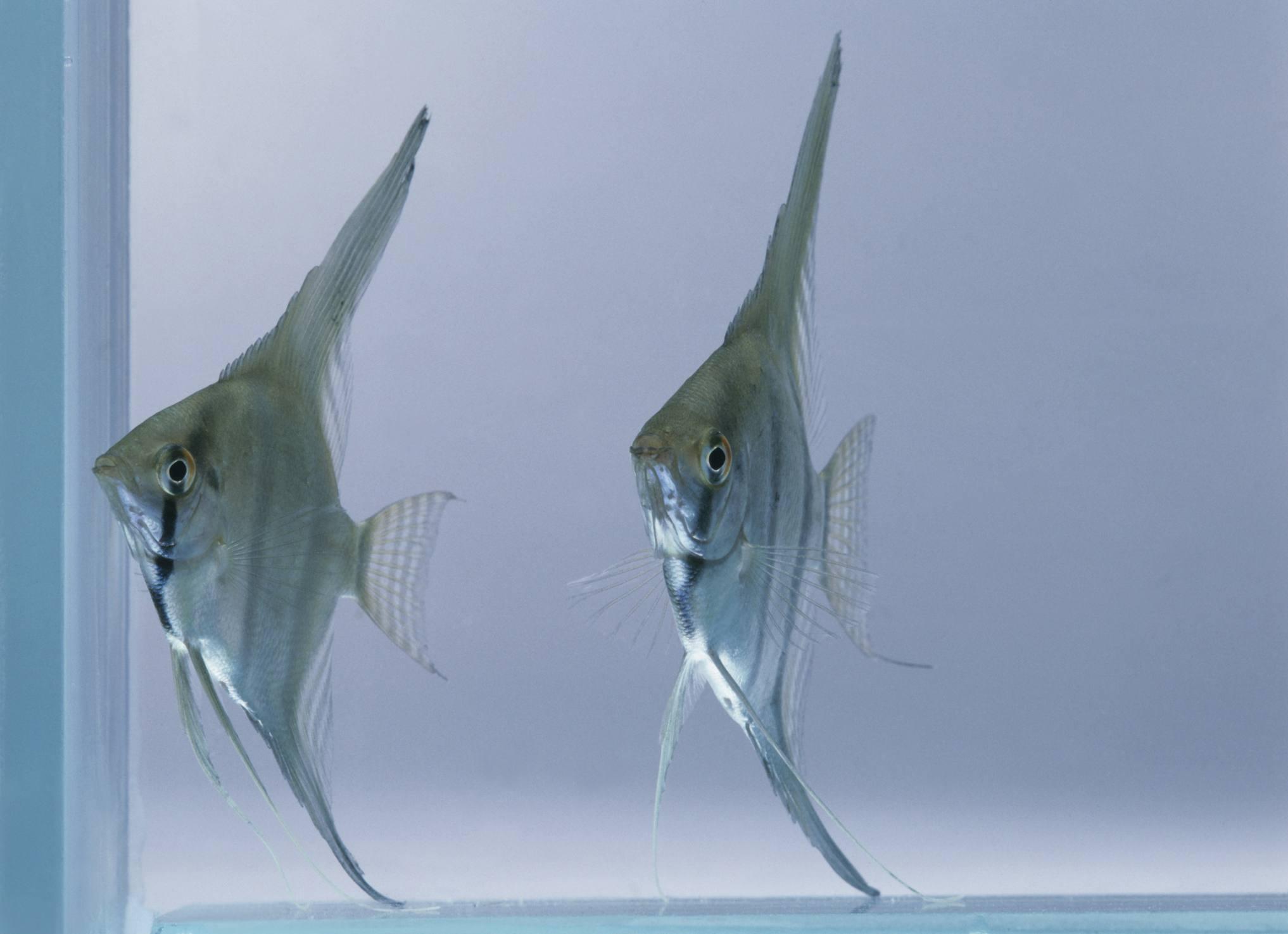 Altum Angelfish in Tank