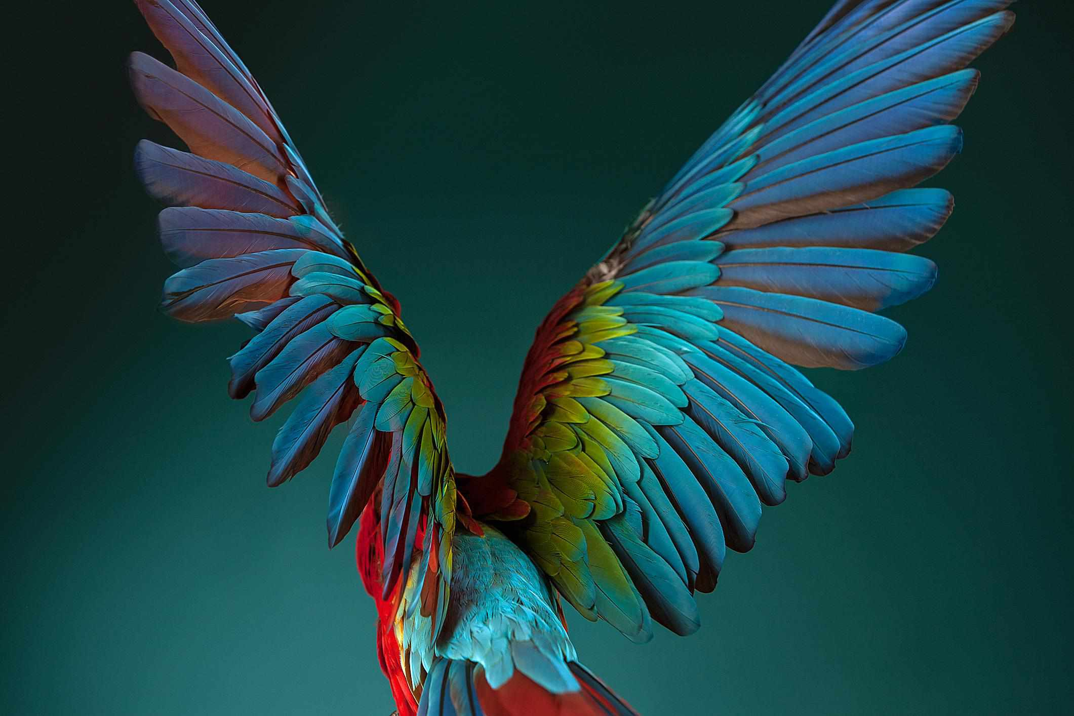 A scarlet Macaw spreads its wings.