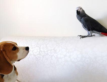 Puppy looking at bird perching on sofa