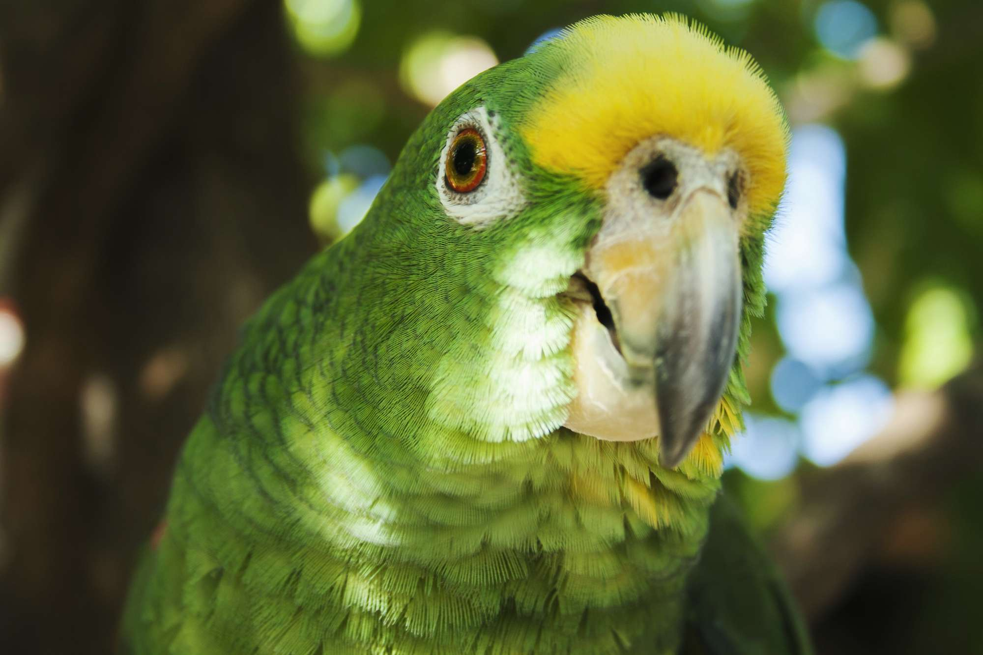 Markings on the face of the Panama Amazon Parrot
