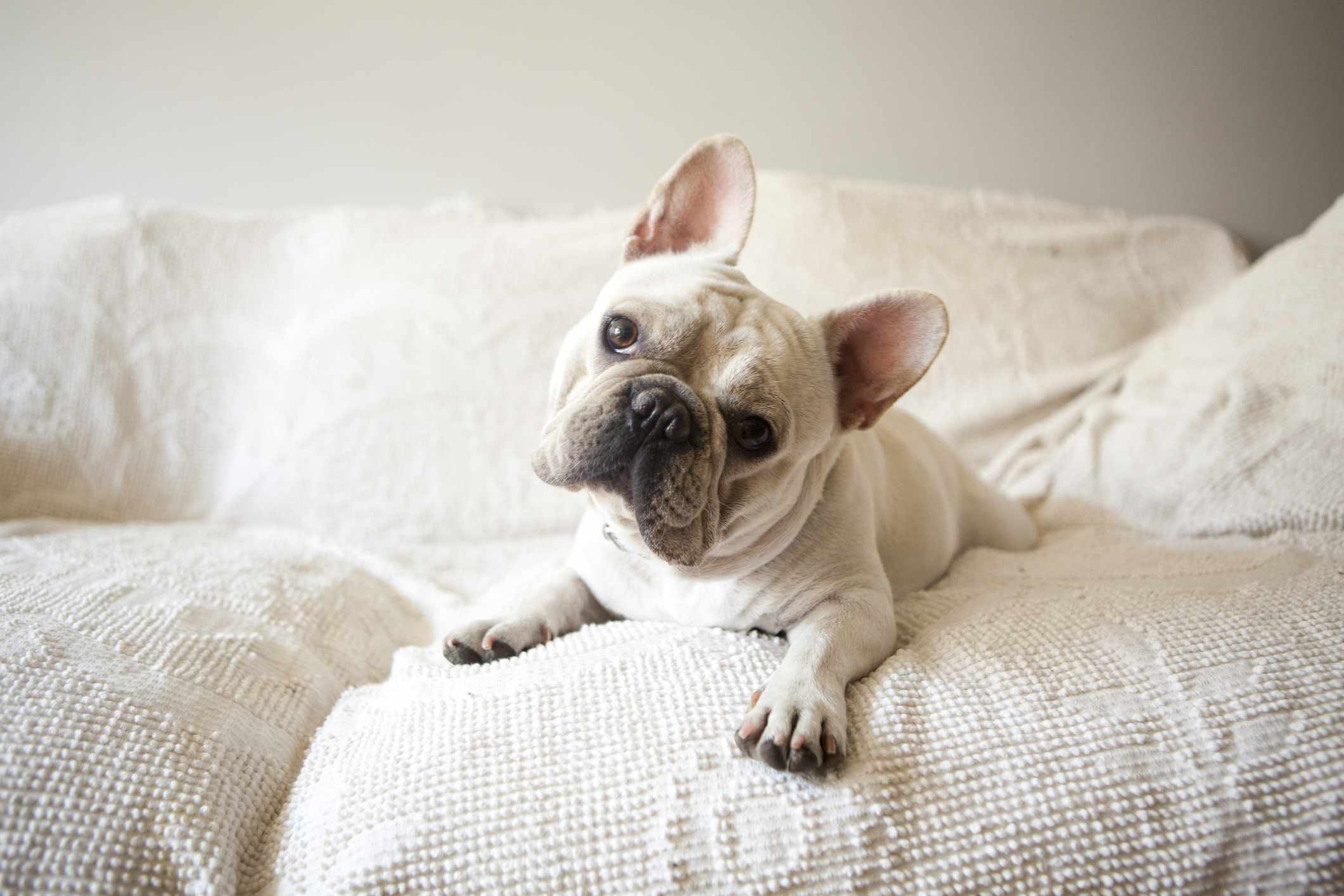 A white Frenchie sitting on a white couch.
